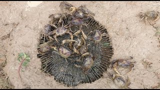 Amazing Fan Guard Crab Trap To Catch A Lot Of Crabs By Smart Boys