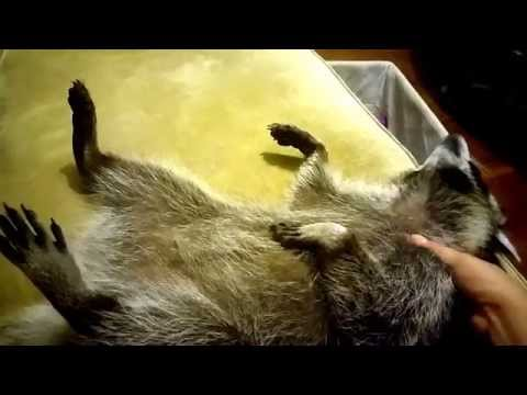 How to Get your pet raccoon to fall asleep. Adorable video.