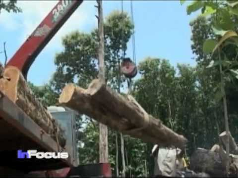 Sudan Teak Trees