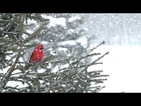 Super Silky Snow Falling Slow Motion Cardinal