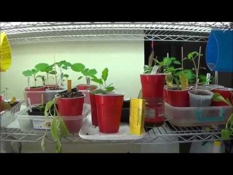 Apartment garden apartment gardening self watering system kratky method holy basil german johnson