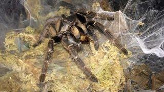 Tarantula Feeding Video #12 ~ Get Off My Tongs !!!
