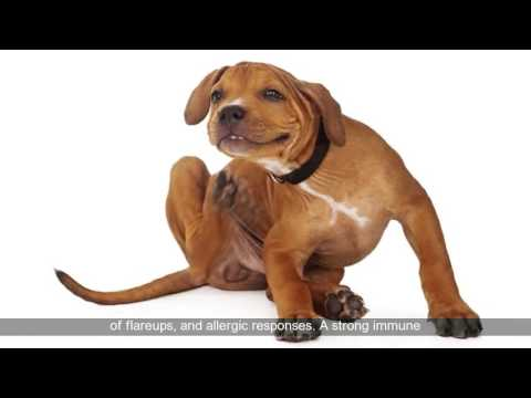 Natural Remedies for Atopic Dermatitis in Dogs | Dermatitis Skin Dog Allergies