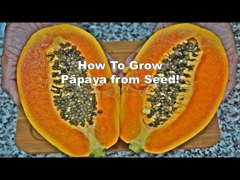 How to Grow Papaya from Seed!