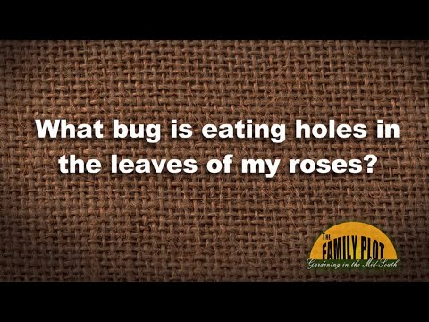 Q&A - What bug is eating holes in my rose leaves