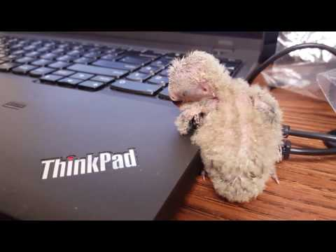 Baby lovebird using the laptop and his wing as a pillow