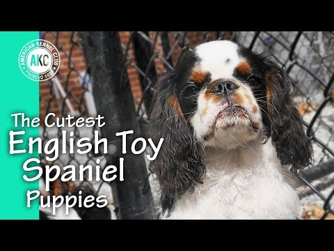 The Cutest English Toy Spaniel Puppies