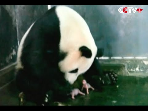 LIVE: Giant Panda Gives Birth to Twin Cubs