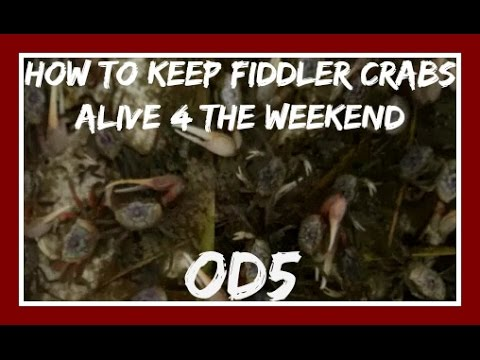 EASIEST way to keep Fiddler Crabs Alive For A Weekend of Fishing