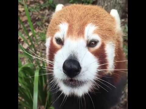 Red Panda Eating Grapes