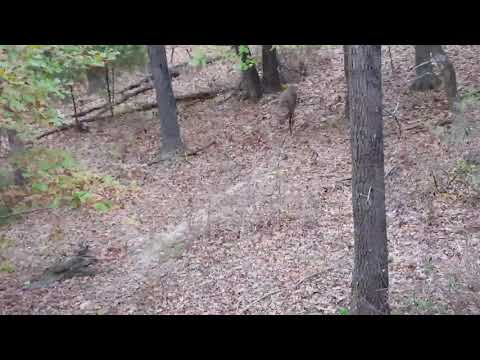 Cattle timber buck