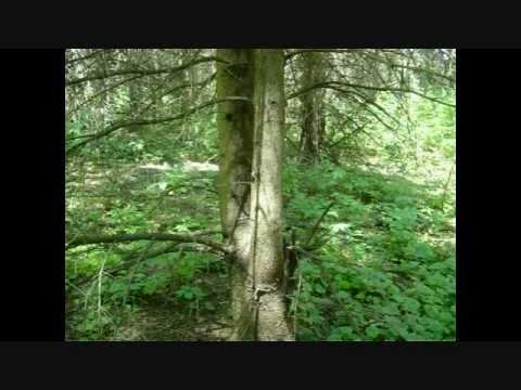 Wild Edibles: Pine Bark Flour Substitute