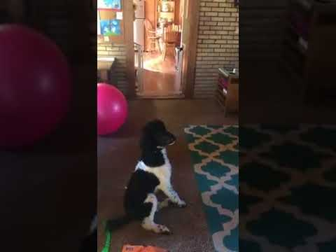 Pierre the labradoodle practicing