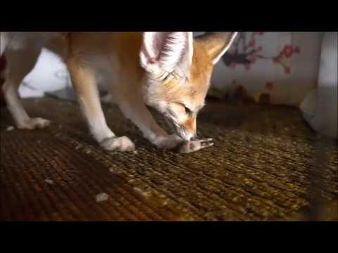 Fennec Fox Eats Wild Mouse