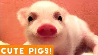 New Ultimate Cute Pig and Piglet Compilation 2018 | Try Not to Laugh Funny Pet Videos FPV