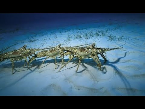 I bet YOU'VE NEVER Heard of This RARE Lobster Migration! Catch Clean Cook- Spiny Lobster Bisque