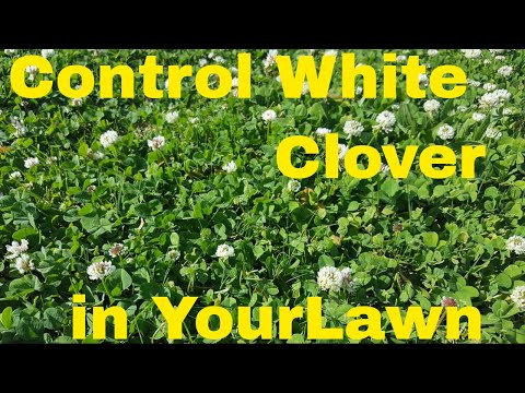 How to Kill White Clover -  Field Test with 4 Products
