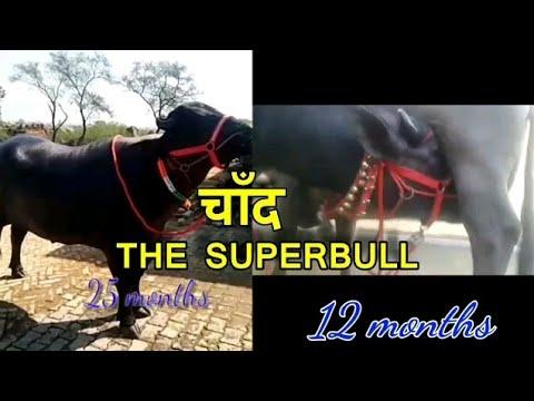 THE MURRAH SUPERBULL - CHAND - AGE 25 months