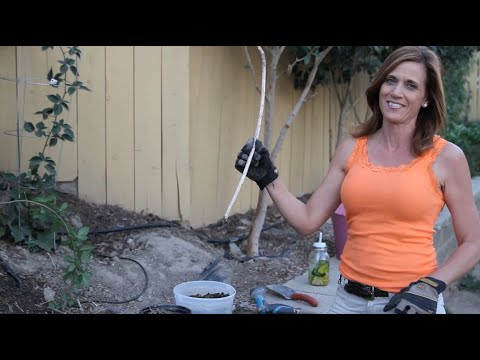 How to Propagate Berry Bushes in Three Easy Steps!