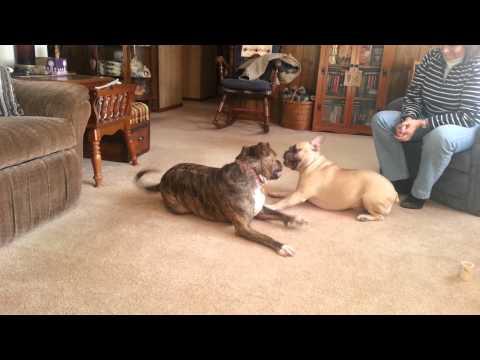 Pitbull vs French bulldog dog fight, bulldog wins!