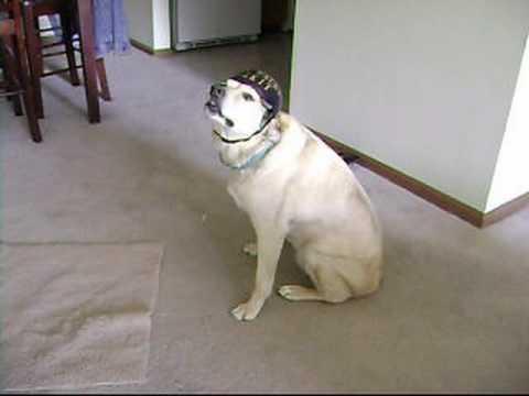 Bizkit the Sleep Walking Dog Helmet