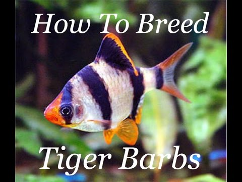 How To Breed Tiger Barbs