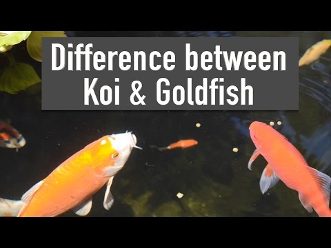 Difference between Koi & Goldfish