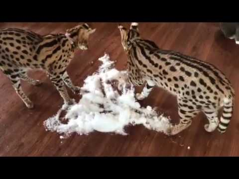 Serval Cats Fight Over Snow LOL!
