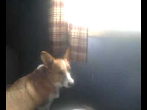 Leon barking out a bedroom window