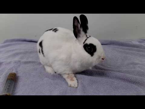 Gastrointestinal Stasis in Rabbits/ GI Stasis in Rabbits/The Silent Killer Disease - Rabbit Health