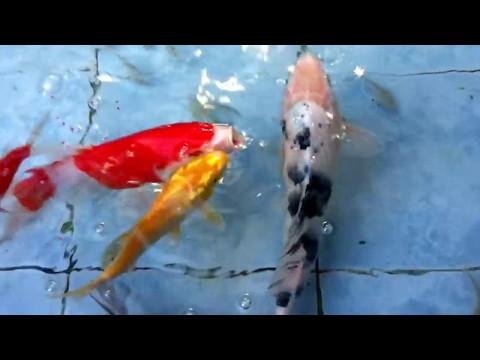 🔴 My Koi Pond Philippines (feeding edition)