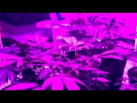 Update on my promix grow under blackDogLed(bd700-U)