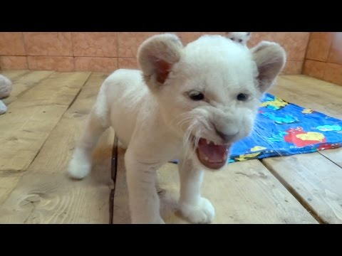 White Lion cub hits camera for getting too close