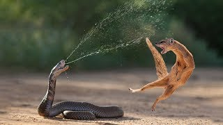 Download Amazing Snake Python King Cobra Big Battle In The Desert Mongoose | Amazing Attack of Animals Video