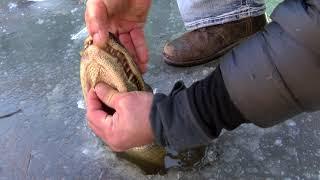 How alligators survive in frozen water