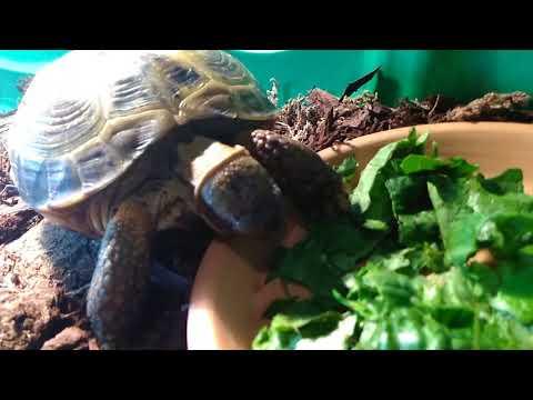My New Russian Tortoise Finally Ate!