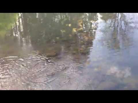 WILD RICE for Pond