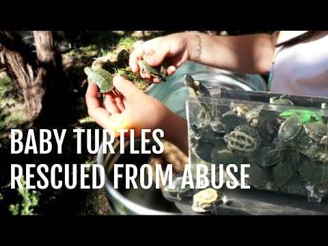 Baby Turtles Given a Second Chance (Turtle Rescue)