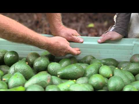 Avocado harvesting: The picker's guide