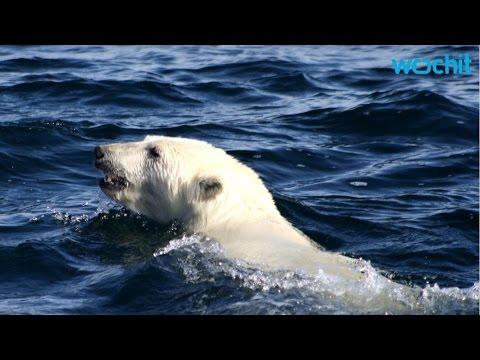 Polar Bears Eat Dolphins as Arctic Warms