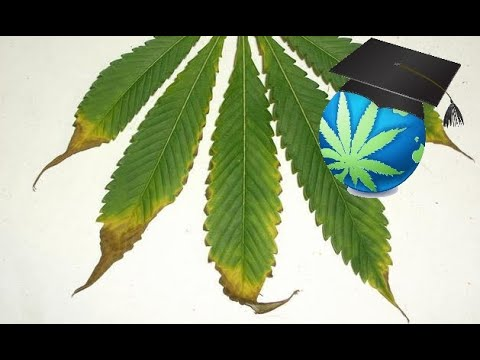Learn to Spot & Treat Nutrient Burn - Cannabis Plants