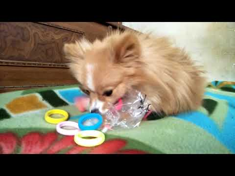 Unboxing rubber bands by my cute dog creamy a beautiful video of my pet in excellent