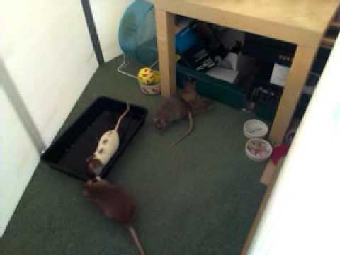 Pet Rats pea fishing