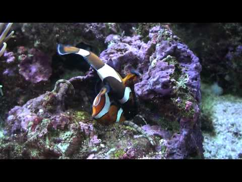 Clownfish defend their eggs