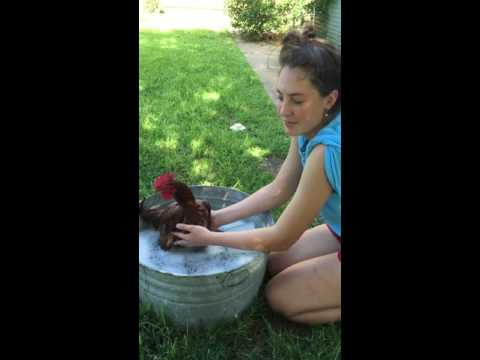 Treating Chicken Lice