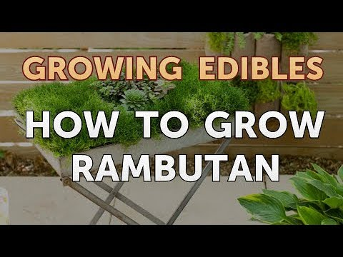 How to Grow Rambutan