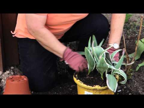 How to Repot a Tulip : Grow Guru