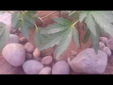 Outdoor Grow | White Spots