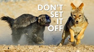 Honey Badgers: They Don