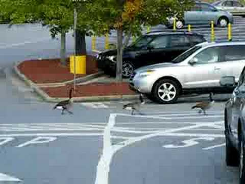 Atlanta - Sept 28th, 2008 - 25+ Canadian Geese Stop Traffic at Sam's Club on Clairmont at I-85